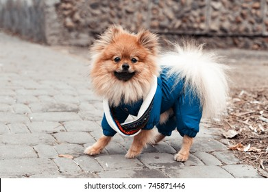 The cute German spitz dog in the blue sweater walking on the street, toned Instagram filter