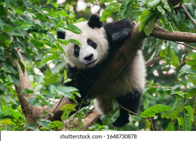 Cute giant panda bear climbing in tree