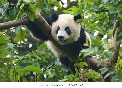Cute giant panda bear in tree