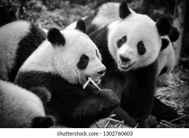 Cute giant panda bears