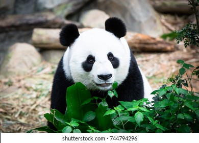 Cute Giant Panda with tree. (Ailuropoda melanoleuca) Animal and wildlife concept. Panda in Singapore Zoo.