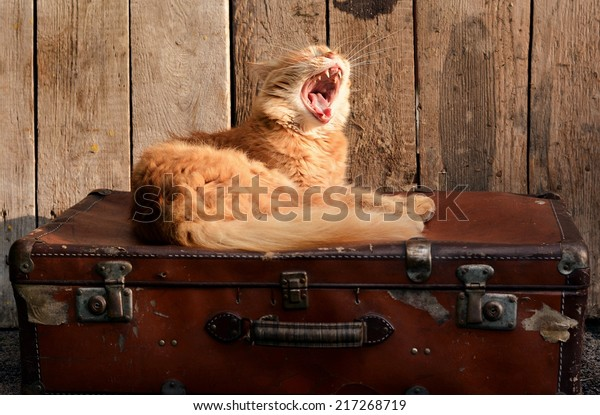 Cute ginger cat awakening on old suitcase