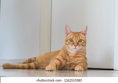 Cute Ginger Cat lays on floor.  White Background.