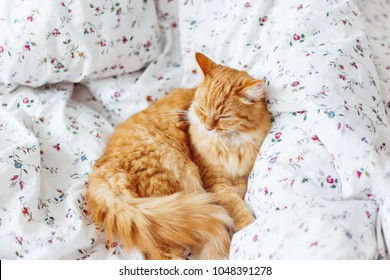 Cute ginger cat  lies on bed. The fluffy pet comfortably settled to sleep. Cute cozy background, morning bedtime at home.