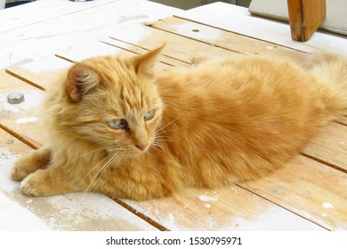 Cute ginger cat lies on a wooden painting trestle.