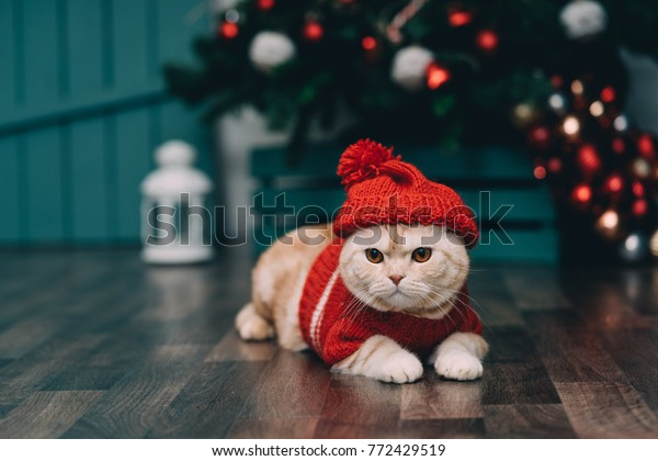 Kitten Christmas Sweater.Cute Ginger Cat Red Christmas Sweater Stock Photo Edit Now