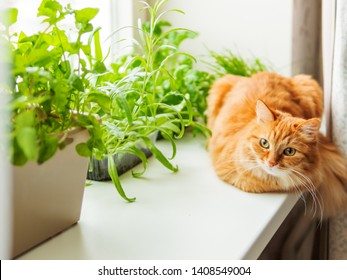 Cute ginger cat is sitting on window sill near flower pots with rocket salad, basil and cat grass. Fluffy pet is staring curiously. Cozy home with plants.