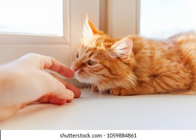 Cute ginger cat smelling human hand. Cozy morning at home. Trustful fluffy pet.