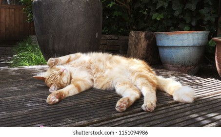 Cute ginger cat stretched out and relaxing on terrace in the garden
