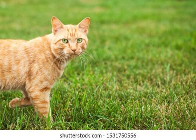 Cute ginger cat walking in grass. Portrait of domestic cat in green field. Animal, pet, farm