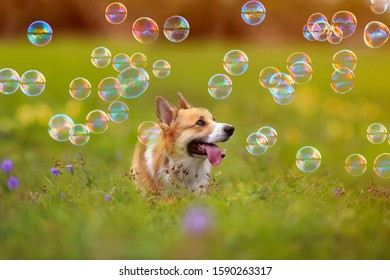 cute ginger Corgi dog puppy walks on a green bright meadow on a Sunny summer day and watches the soap shiny bubbles