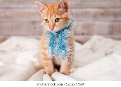 Cute ginger kitten dressed for winter, sitting and looking to side wearing a blue fluffy scarf