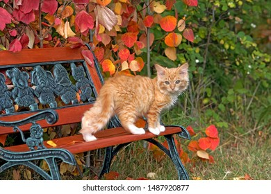 Cute ginger tabby Kitten standing outside on wooden  bench,looking back.  background  shrubs in prime autumn colors