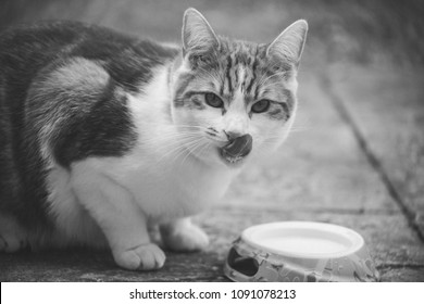 cute ginger tomcat photographed in black and white next to a bowl of milk