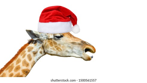 Cute giraffe head in christmas hat isolated on white background. Funny giraffe head isolated. Funny giraffe's face