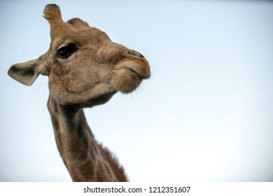 cute giraffe head during an african safari in South Africa