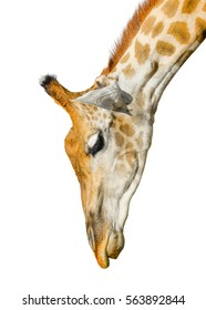 Cute giraffe isolated on white background. Funny giraffe head isolated. The giraffe is tallest and largest living animal in zoo. Beautiful Giraffe isolated on white. Funny giraffe's face isolated
