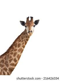 cute giraffe on white background