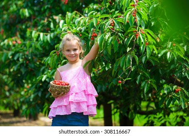 Cute girl  picks a cherry from a tree in cherry garden