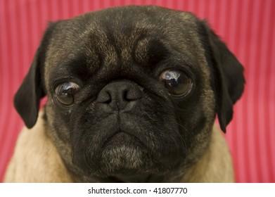 Cute Girl Pug