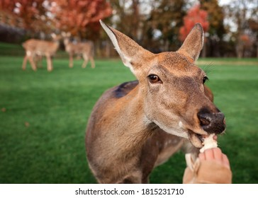 Cute girl stroking and feeding young dappled deer during autumn weekend in the park, family leisure, fall outdoor