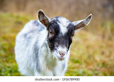cute goat cub looks at the camera.white baby horn on farm. mammal domestic animal on green field close up