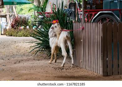 Cute goat in pattaya