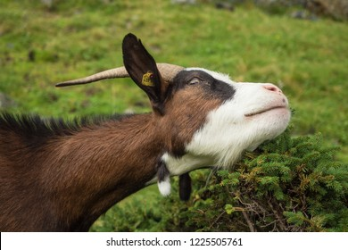 Cute goat with tree