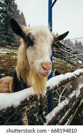 Cute goat in Ukraine