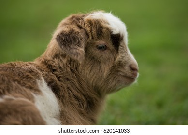 Cute goatling on field in spring, on a green pasture.