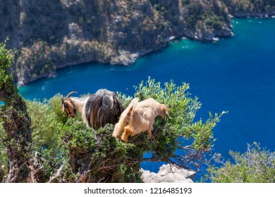 Cute goats feed on the edge of the cliff overlooking the valley of butterflies, ignoring the height. Near Faralya Village.  Mugla-Turkey