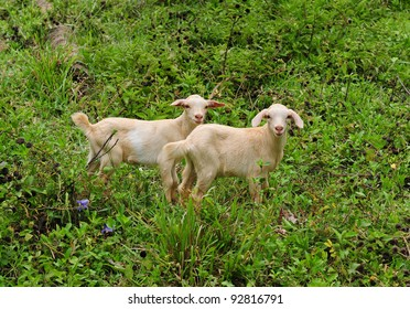 Cute goats over green grass and bushes