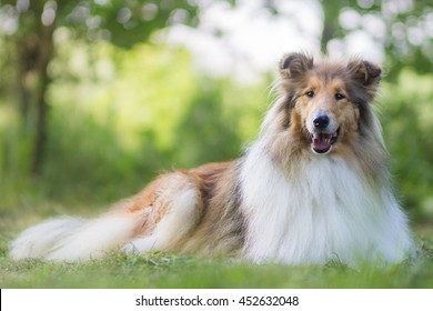 Cute gold rough collie with long hair lies at grass, green bokeh background
