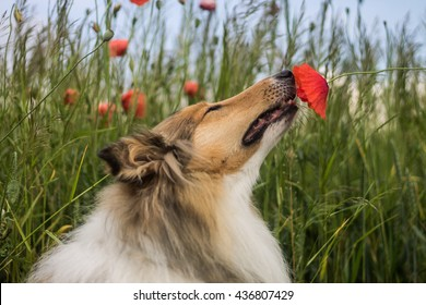 Cute gold rough collie sniffing the red poppy