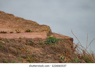 cute Goldcrest on Helgoland, Germany