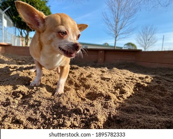 Cute golden colored chihuahua dog playing in the sandbox on a sunny day at canine enrichment boarding facility