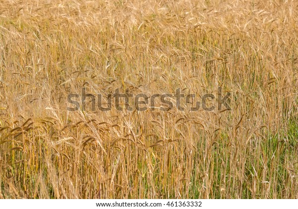 Cute golden field of rye at warm summer day