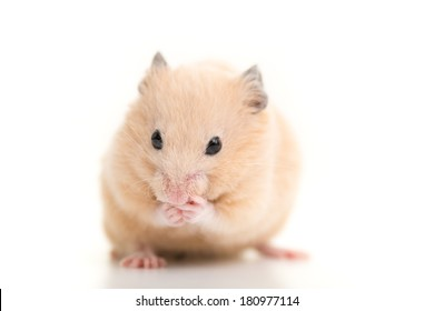 Cute Golden Hamster, isolated on white background