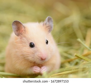 a cute golden hamster on pasture
