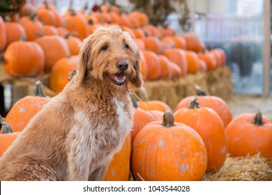 Cute golden labradoodle sitting in front of a bunch of pumpkins on a farm.