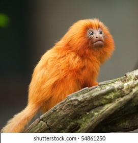 A cute golden lion tamarin baby (Leontopithecus rosalia)