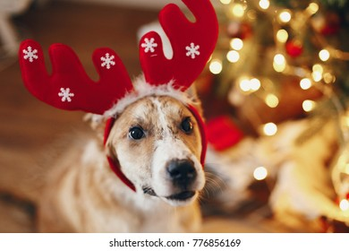 cute golden puppy in reindeer hat sitting at beautiful chrismas tree with lights and presents. seasonal greetings, happy holidays. merry christmas and happy new year concept. space for text
