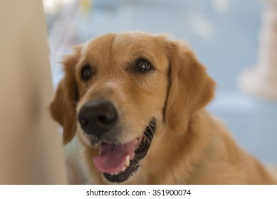 cute Golden Retriever brown color