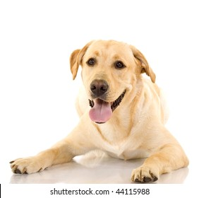 A cute golden retriever dog, isolated on a white studio background