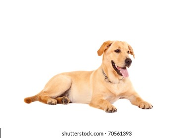cute golden retriever dog, isolated on a white studio background