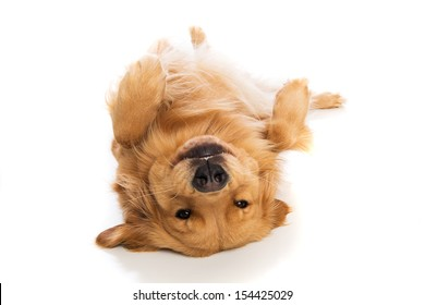 A cute Golden Retriever dog laying down on his back