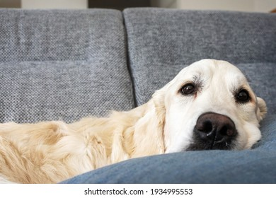 Cute golden retriever dog laying on a sofa in living room at home. Domestic life.