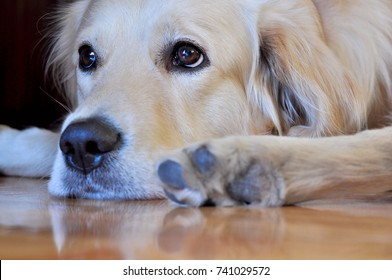 Cute golden retriever dog laying on the floor and looking sad