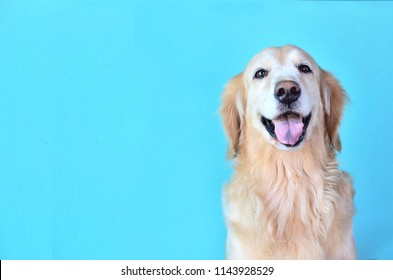 cute golden retriever dog smiling on blue background