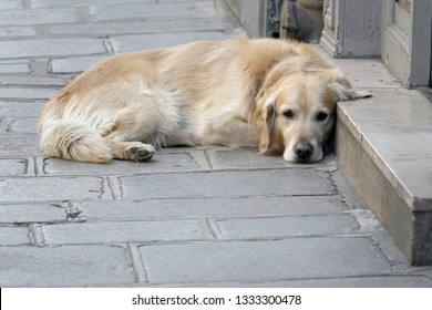 Cute Golden Retriever laying on the sidewalk in a street in Paris